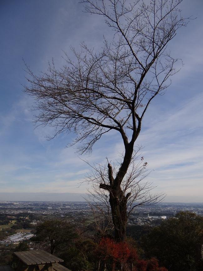 r 山頂の桜