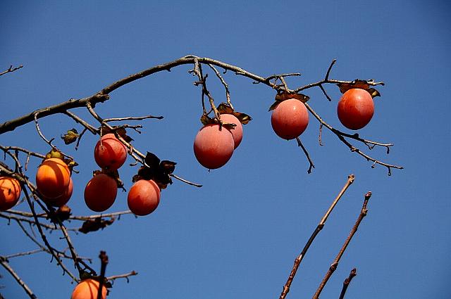柿の実 2