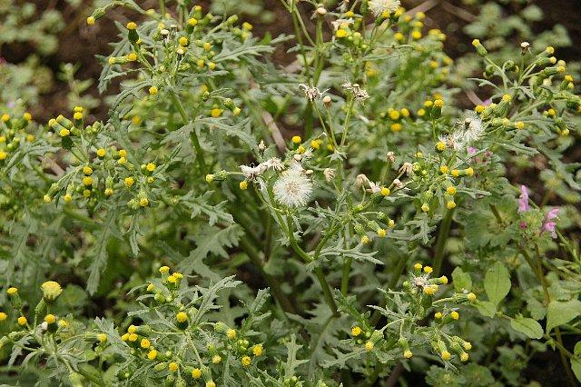 ノボロ菊1