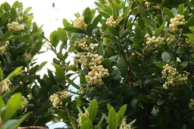 スズランの木1