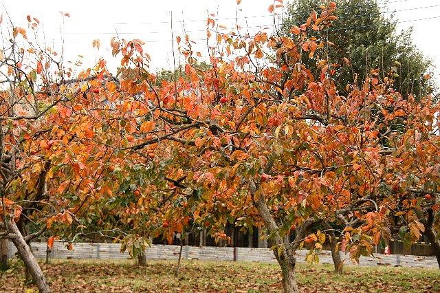 柿の木 紅葉2