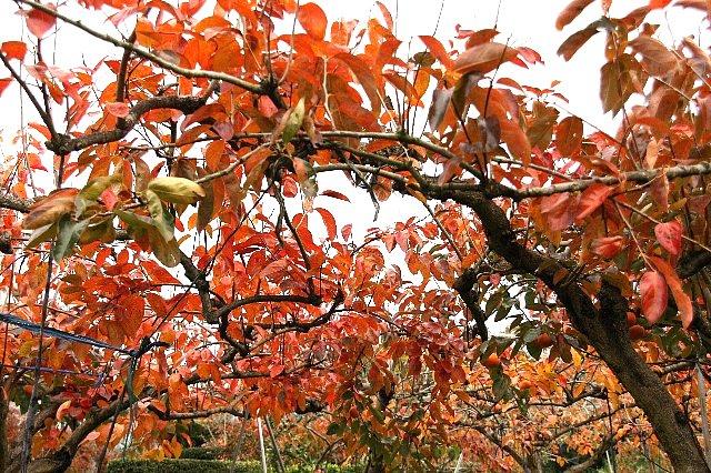 柿の木 紅葉1
