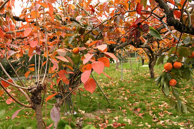 柿の木 紅葉