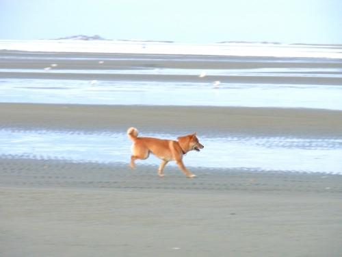 テスヘリングの海岸を走るアスカ