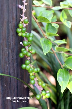 ヤブランの実緑色