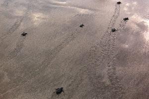 クタビーチのカメの放流の画像