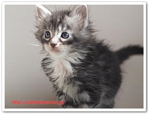 生後36日の仔猫シルル