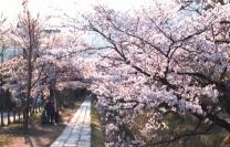 桜舞い散る春