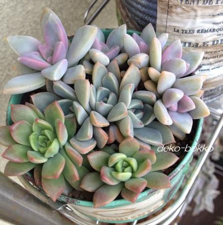 ぶるぐりちゃん 葉挿し寄せ植え 201511