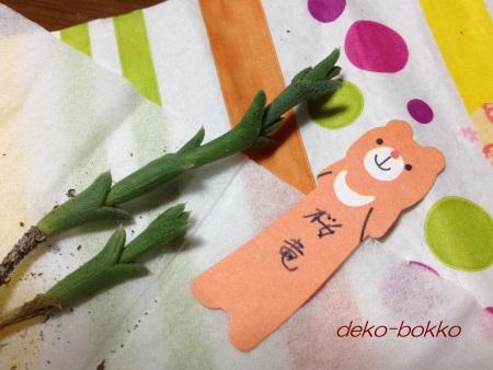 renちゃん多肉 桜竜