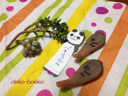 renちゃん多肉 パキフィルム
