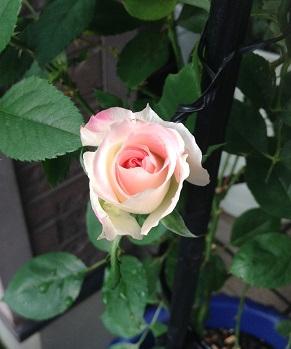 マチルダ、咲きます^^