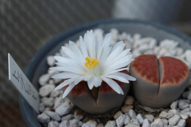リトープス開花!