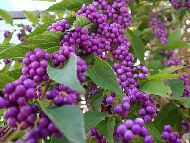 小紫(こむらさき)(64048 byte)