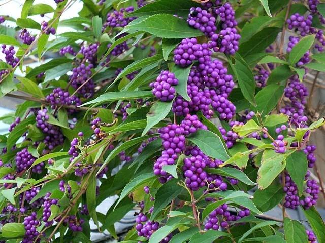 小紫(こむらさき)(90737 byte)