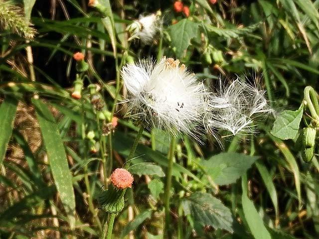 紅花襤褸菊(べにばなぼろぎく)(83145 byte)