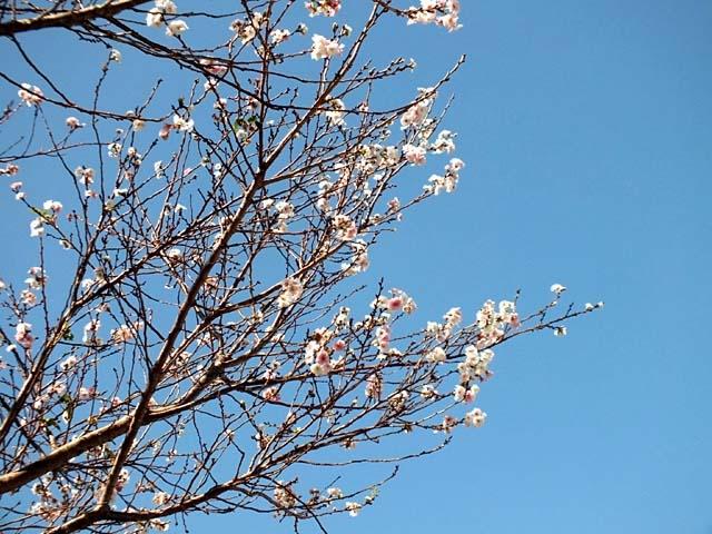 十月桜(じゅうがつざくら)(86145 byte)