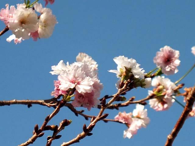 十月桜(じゅうがつざくら)(40581 byte)