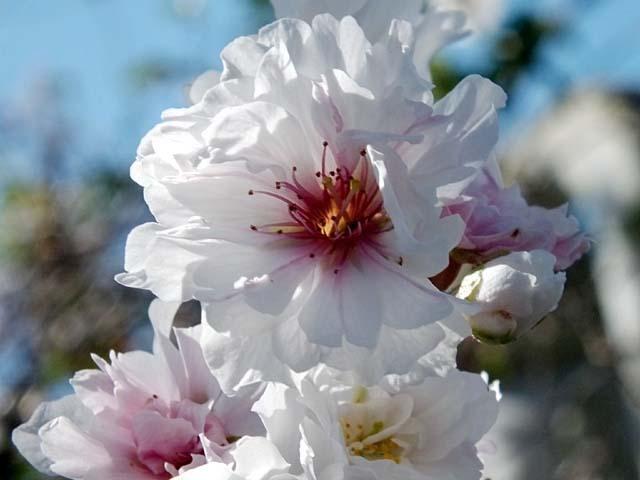 十月桜(じゅうがつざくら)(36826 byte)