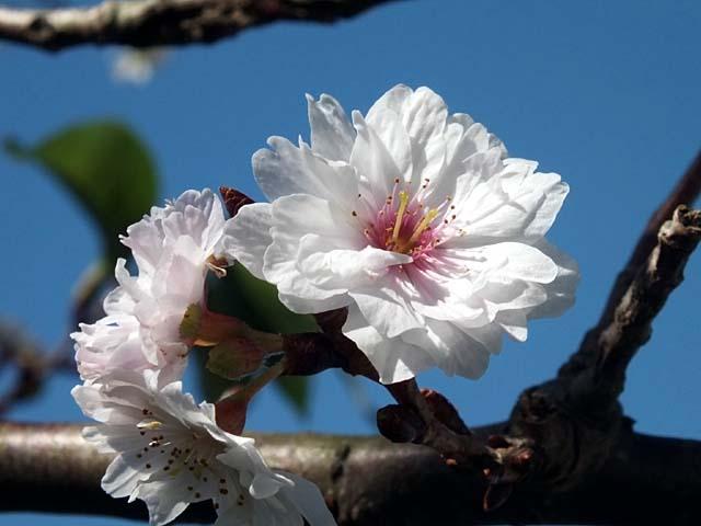 十月桜(じゅうがつざくら)(39596 byte)