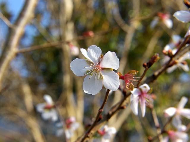 冬桜(ふゆざくら)(39995 byte)