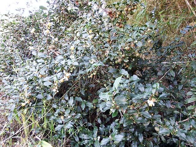 茶の木(ちゃのき)(145780 byte)