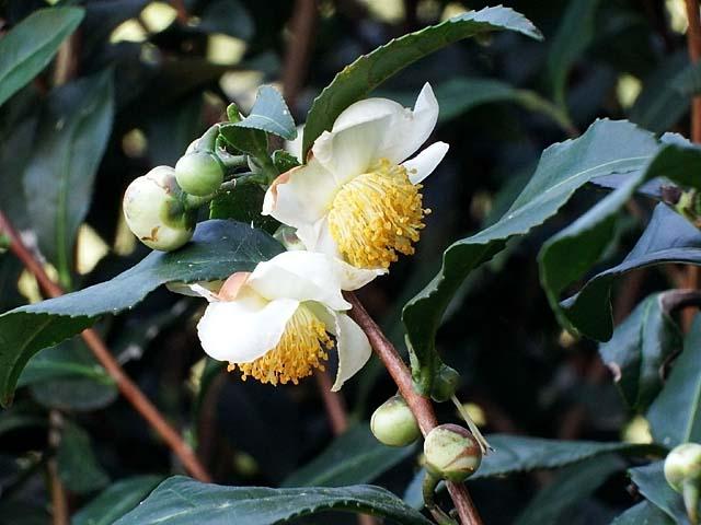 茶の木(ちゃのき)(52915 byte)