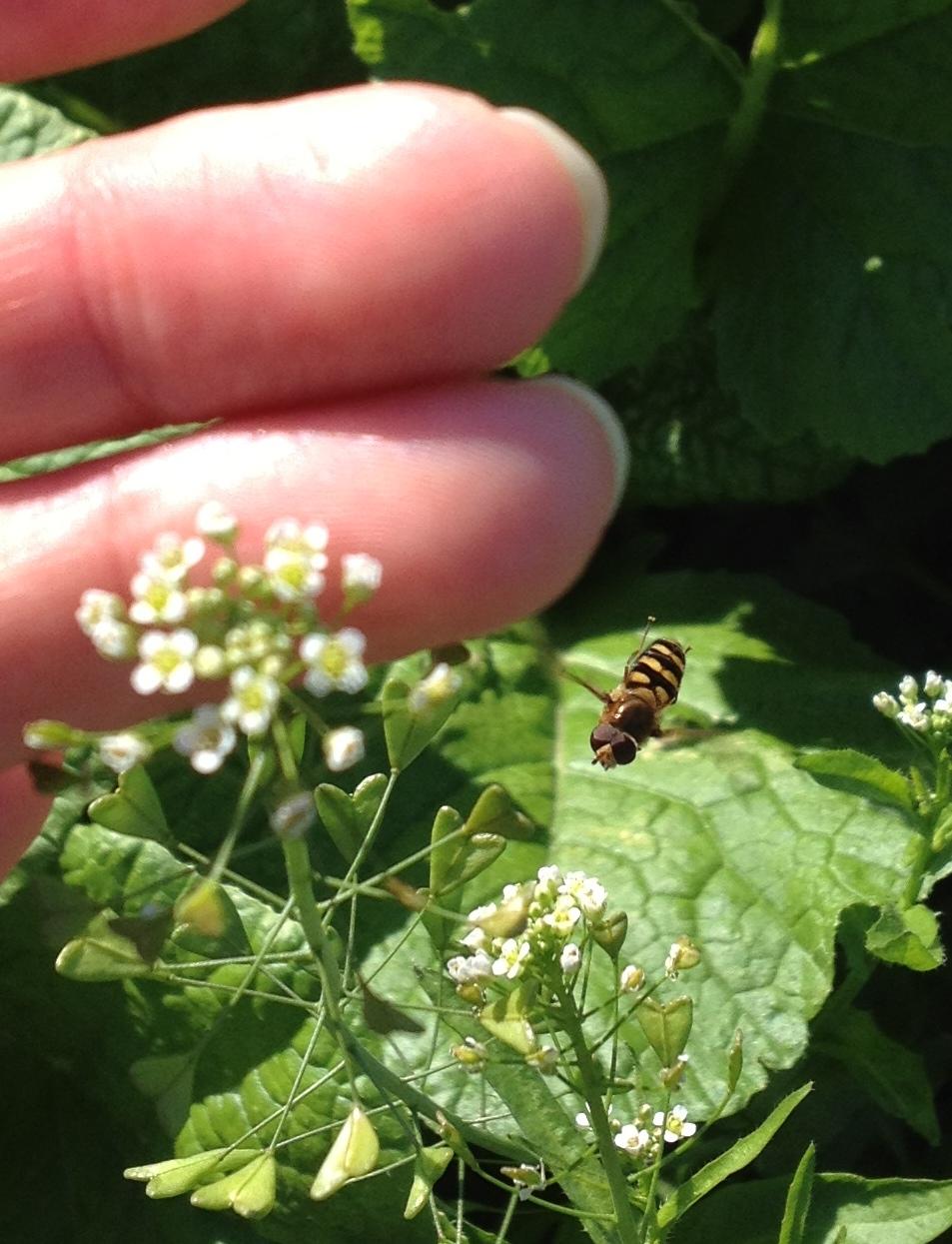 ハチとシロツメクサ