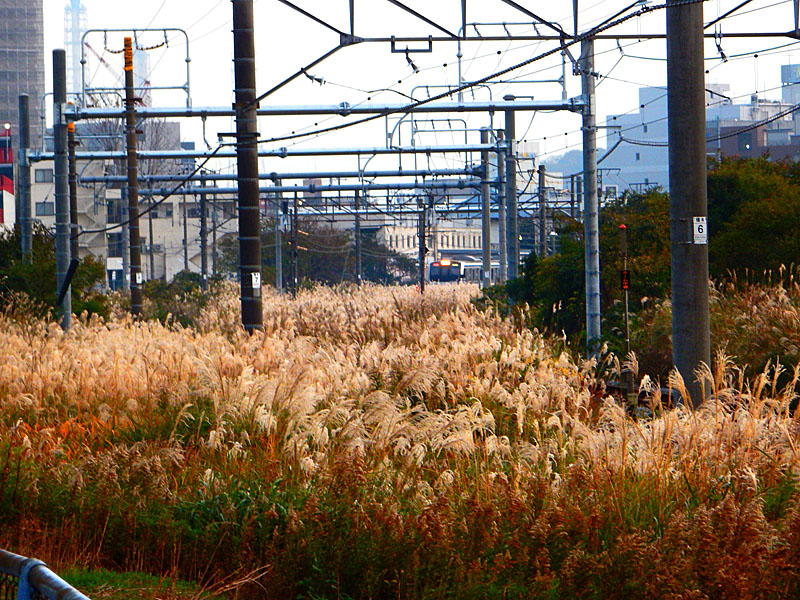 141124横須賀線脇の運河とススキ1