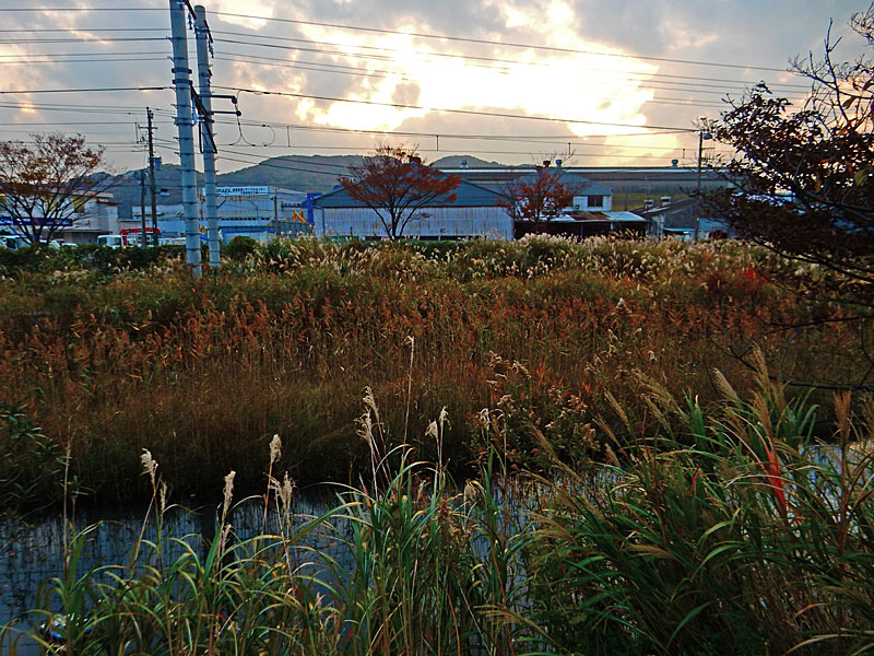 141124横須賀線脇の運河とススキ2