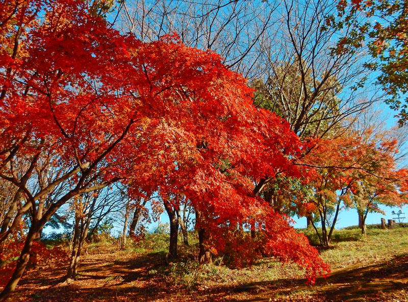 151204昼休みの紅葉狩り1