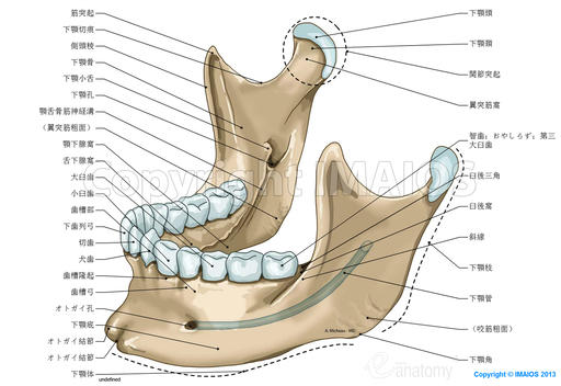 mandible-mandibular-canal_medical512.jpg