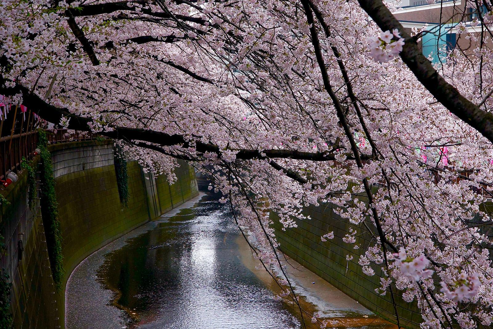中目黒 桜まつり2