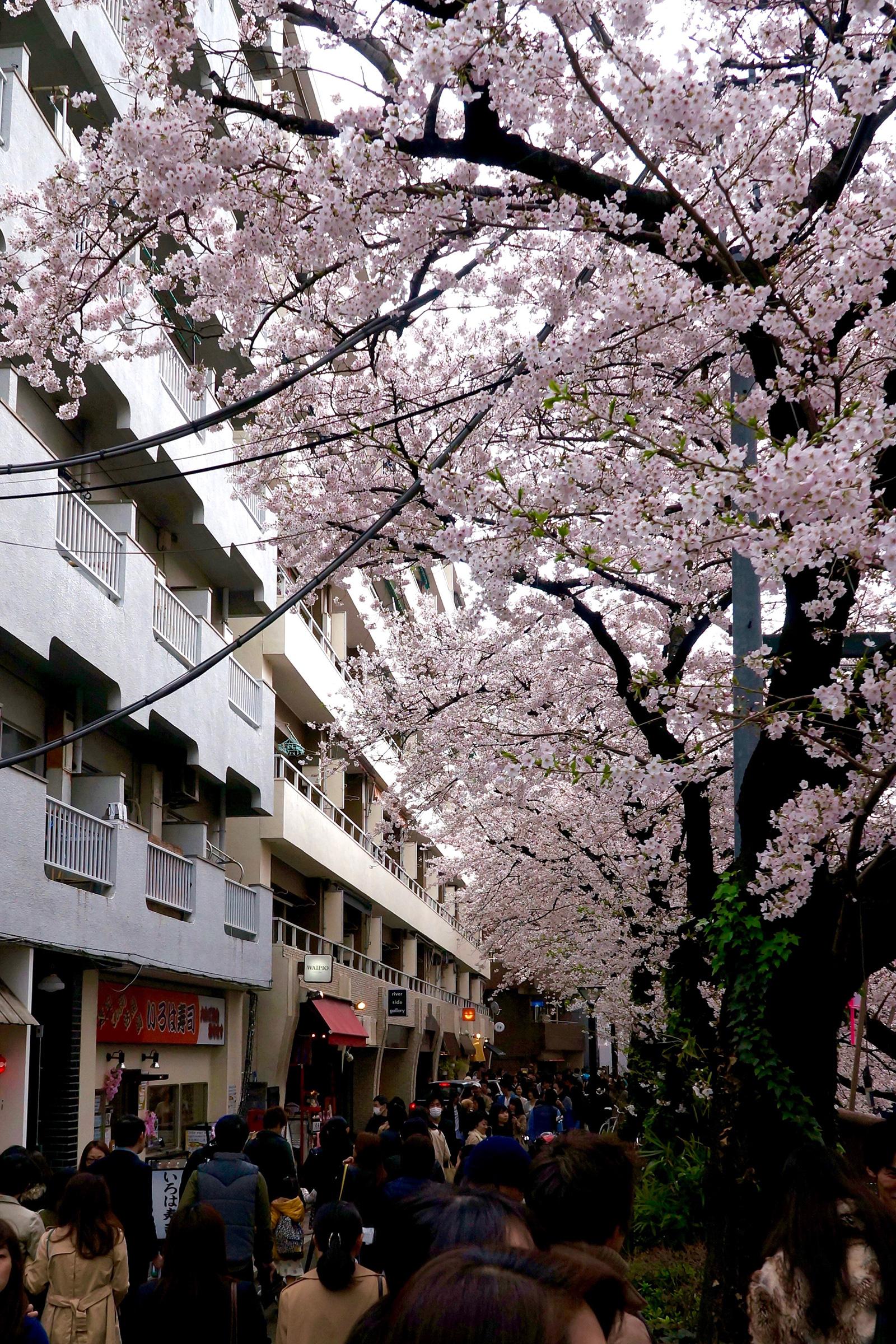 中目黒 桜まつり3