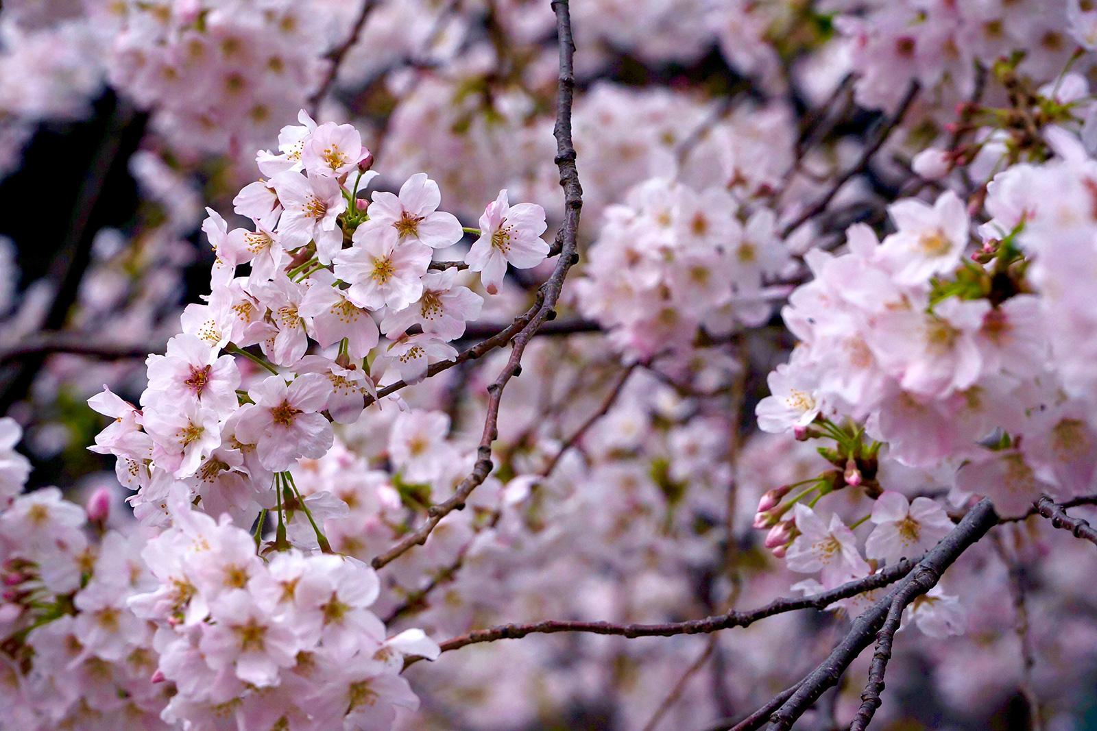 中目黒 桜まつり1