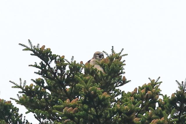 クマタカ(幼鳥) (1)