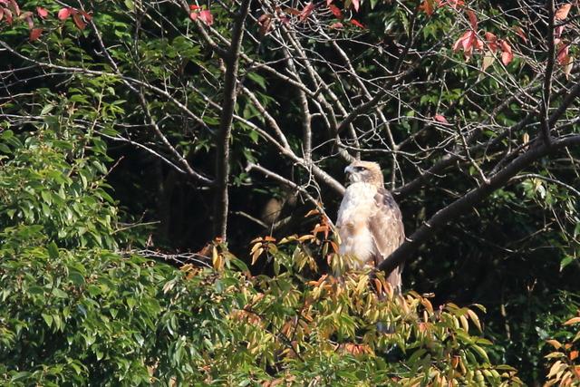 クマタカ(幼鳥) (3)