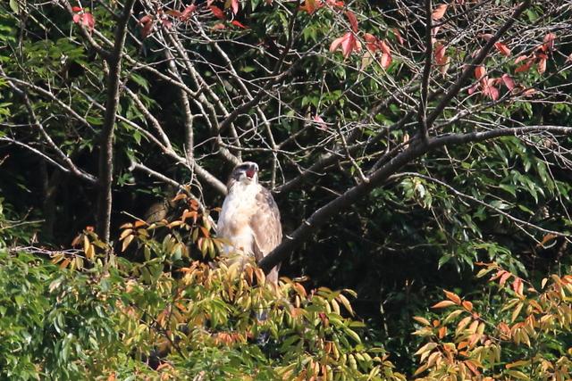 クマタカ(幼鳥) (4)