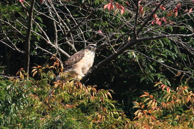 クマタカ(幼鳥) (5)