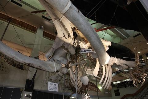 セミクジラ骨格