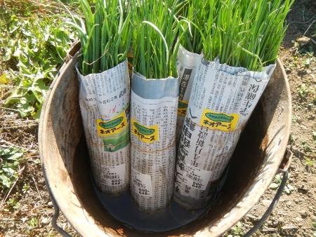 玉ねぎの定植作業 (2)