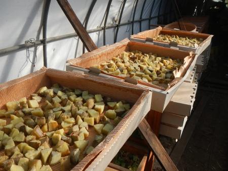 干し芋作り (3)