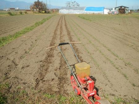 麦の播種作業 (1)