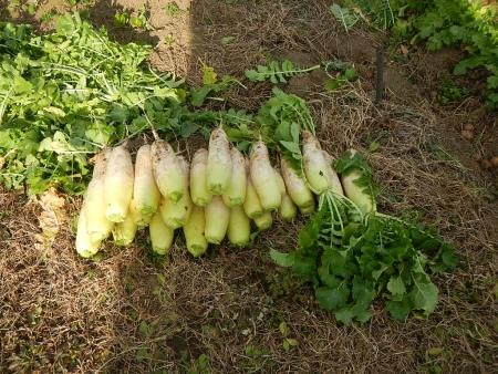 アスパラ菜 (4)