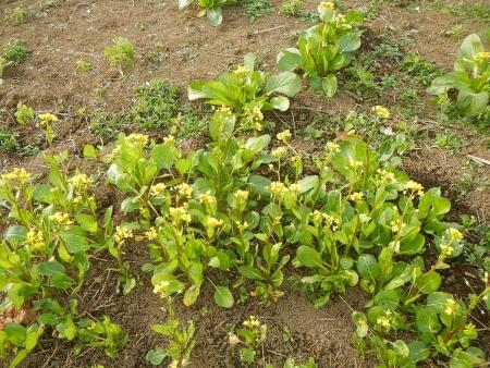 アスパラ菜 (2)