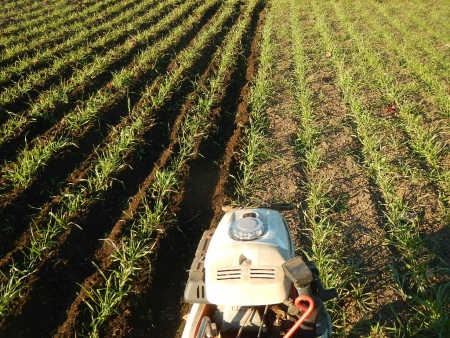 小麦の雑草除去 (3)