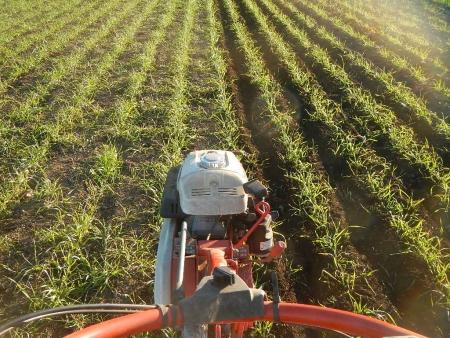 小麦の雑草除去 (2)