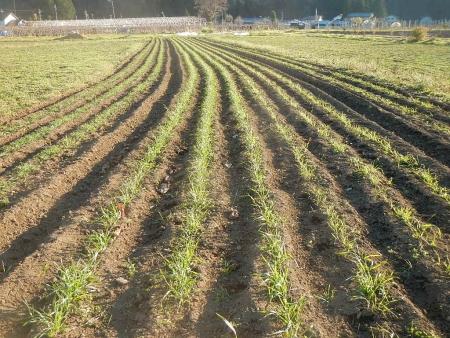 小麦の雑草除去 (1)
