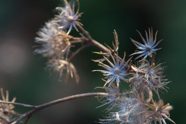 青色フジバカマの萼片-01