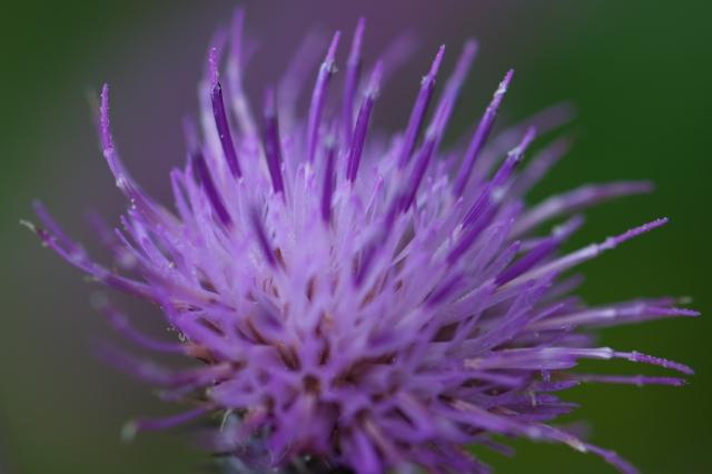 アザミの花-03
